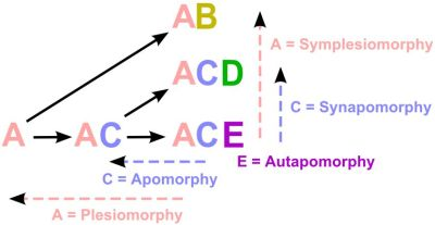 Figure 2. Diagrammatic representation of fundamental notions used in evolutionary cladistics. The letters represent individual characters. The terms 