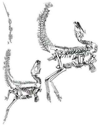 Figure 2. Drawings of two Sinosauropteryx prima fossils from China. Note the bent necks, tails, and limbs at the joints, which is the 'death  throes position'. (From Currie and Chen, ref. 23.)