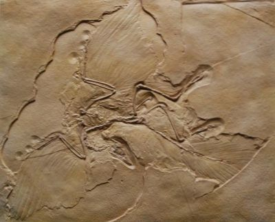 Figure 3. Replica of Archaeopteryx displayed at the Museum of the Rockies, Bozeman, Montana.