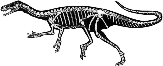 Figure 1. Skeletal silhouette of the new one-meter long theropod Eodromaeus murphi found in northwest Argentina (from Martinez et al., ref. 21).