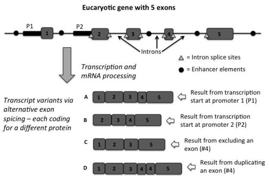 Figure 1. Diagram of a hypothetical eukaryotic gene with 5 exons (protein coding regions). As illustrated, the various non-coding areas upstream,  within intron regions, and downstream of the exons, contain key control features that provide the ability to produce multiple variants of messenger RNAs (transcripts). This results  in multiple unique proteins being produced from a single gene via the creative usage and placement of a wide variety of non-coding DNA information.