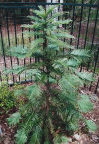 Wollemi Pine in hok