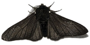 a black peppered moth