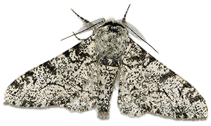 a white peppered moth