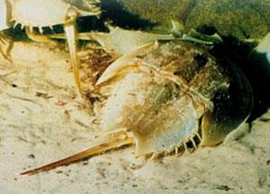 καβούρια Xiphosura