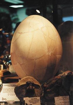Ένας ελέφαντας-πουλί αυγό