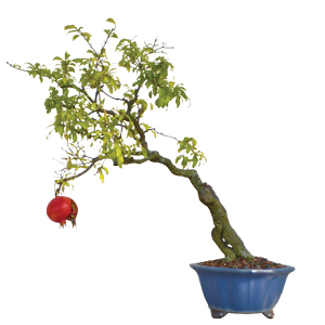 bonsai pomegranate tree with fruit