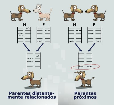Dog genetics diagram