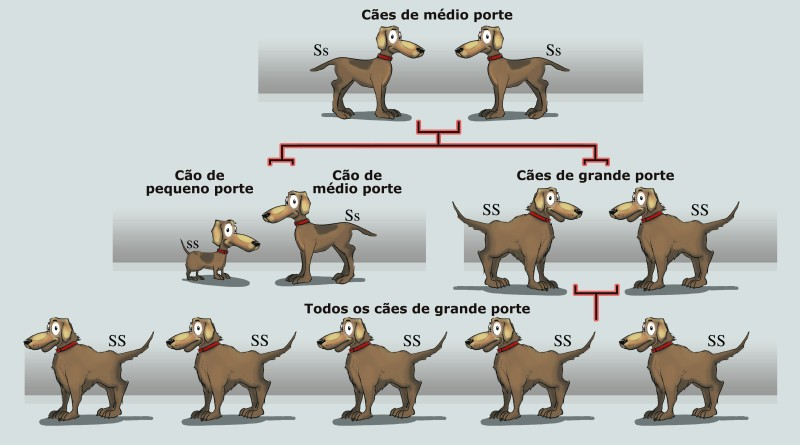 Dog breeding diagram