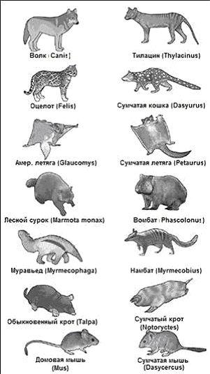 Плацентарные млекопитающие (слева) и их сумчатые аналоги (справа).