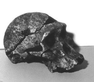 africanus skull
