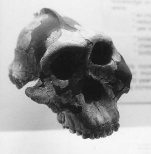 boisei skull